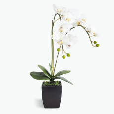 White Orchid stor