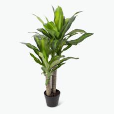 Flora Draketre H: 90 cm