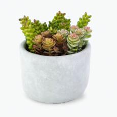 Flora sukkulent