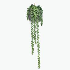 Flora suckulent hängande